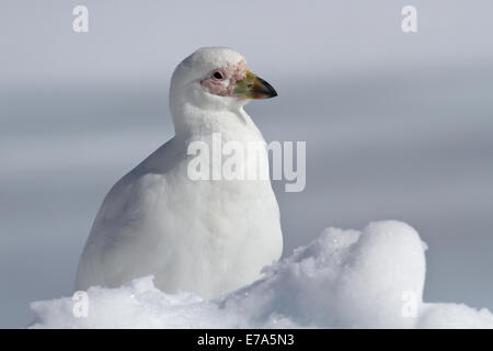 Snowy Sheathbill which sits in the snow Antarctic winter day - Stock Photo