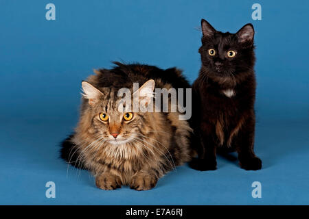 Two Siberian Forest Cats - Stock Photo
