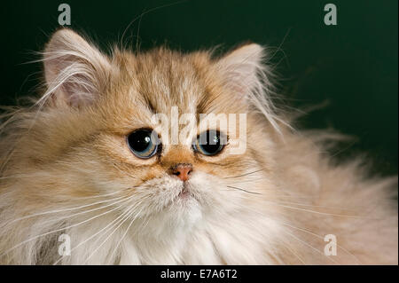 Persian Kitten, Golden Shaded - Stock Photo