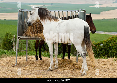 Lusitano horse, geldings, white and bay horses, standing at a hay rack, Andalusia, Spain - Stock Photo