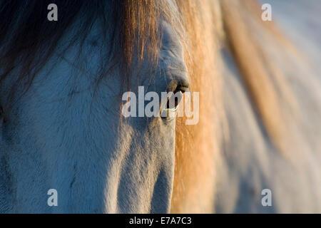 Lusitano horse, gelding, white horse, Andalusia, Spain - Stock Photo