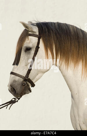 Lusitano horse, white horse, Vaquero bridle, Andalusia, Spain - Stock Photo