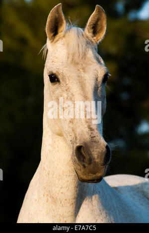 Lusitano horse, mare, white horse, Andalusia, Spain - Stock Photo