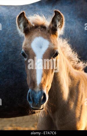 Lusitano horse, foal, Andalusia, Spain - Stock Photo