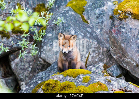 Redfox puppy, Vulpes vulpes, looking out from his nest, Kvikkjokk, Swedish lapland, Sweden - Stock Photo