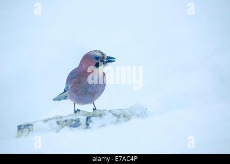 Eurasian jay, Garrulus glandarius, sitting on tree trunk in winter landscape - Stock Photo