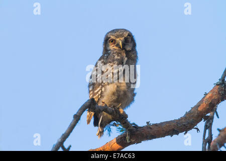Juvenile Northern hawk-owl, Surnia ulula sitting in a pine tree looking into camera and blinking with one eye, Gällivare, - Stock Photo