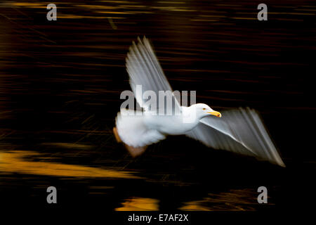 Herring gull (Larus argentatus) flying with slow shutterspeed. - Stock Photo