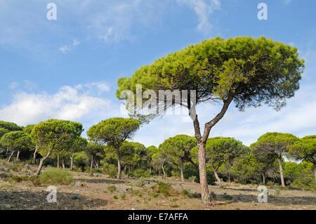 Pine forest, La Breña y Marismas del Barbate Natural Park, Barbate, Cadiz province, Costa de la Luz, Andalusia, - Stock Photo