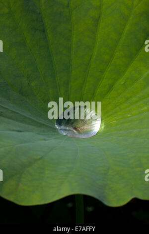 Indian Lotus (Nelumbo nucifera), leaf with water droplet, lotus effect, Arboretum Baumpark Ellerhoop, Schleswig - Stock Photo