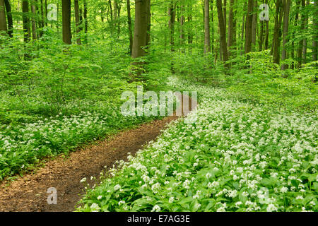 Path in a spring forest, flowering Wild Garlic or Ramsons (Allium ursinum), Hainich National Park, Thuringia, Germany - Stock Photo