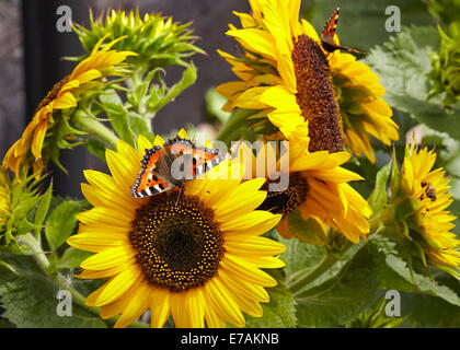 Small Tortoiseshell butterfly feeding on sunflowers - Stock Photo