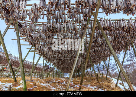 Drying stock fish in Norway, - Stock Photo