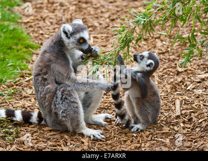 Ring-Tailed Lemur mother and young feeding (lemur catta) - Stock Photo