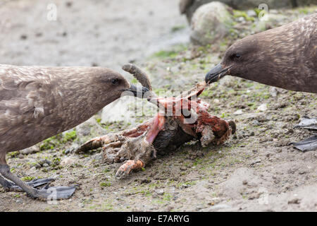 Two Brown skuas (Stercorarius antarcticus) fighting over penguin remains - Stock Photo