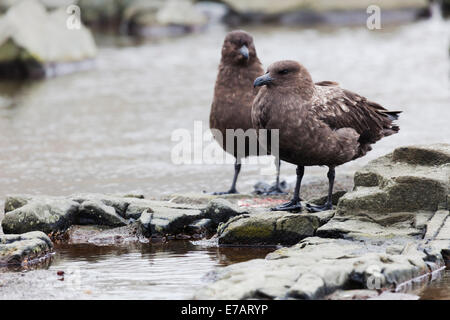 Two Brown skuas (Stercorarius antarcticus) - Stock Photo