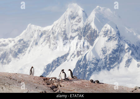 Long-tailed gentoo penguin colony (Pygoscelis papua), Petermann Island, Antarctica - Stock Photo