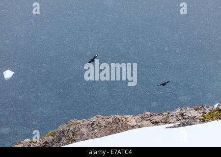 Two Brown skuas flying in snowfall (Stercorarius antarcticus), Neko Harbour, Antarctica - Stock Photo