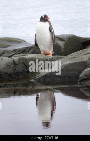 A long-tailed gentoo penguin (Pygoscelis papua), Antarctica
