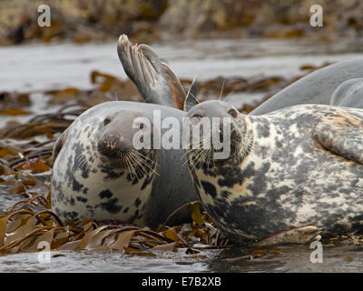 Two Arctic seals basking on rocks covered with kelp near Farne Island in North Sea, near Seahouses, Northumberland - Stock Photo