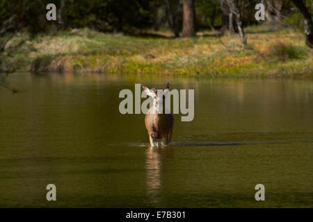 Mule deer (Odocoileus hemionus) by Mirror Lake, Tenaya Canyon, Yosemite National Park, California, USA