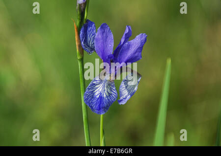 Siberian iris (iris sibirica) close-up - Stock Photo