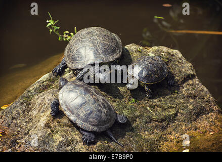 The European pond turtle (Emys orbicularis), also called the European pond terrapin, is a long-living freshwater - Stock Photo