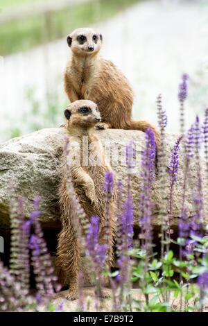 The Meerkat or Suricate (Suricata suricatta) is a small carnivoran belonging to the mongoose family (Herpestidae). - Stock Photo