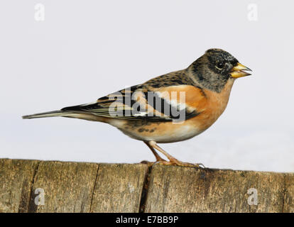 Close up of a Brambling perched on a tree stump - Stock Photo