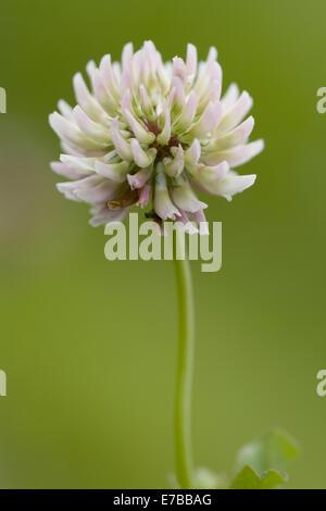 alsike clover, trifolium hybridum - Stock Photo