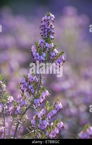 winter heath, erica carnea - Stock Photo