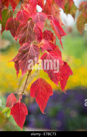 Acer capillipes. Red snake bark maple leaves in autumn in front of colourful garden - Stock Photo