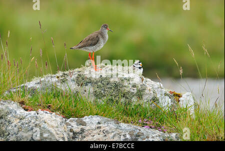 Redshank - Tringa totanus, with Ringed Plover - Charadrius hiaticula on lookout on Lichen Rock - Stock Photo