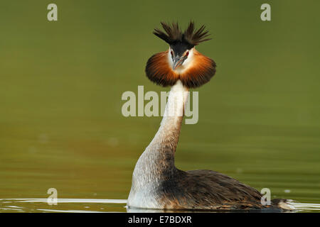 Great Crested Grebe (Podiceps cristatus), male displaying, Müritzgebiet area, Mecklenburg Lake District - Stock Photo