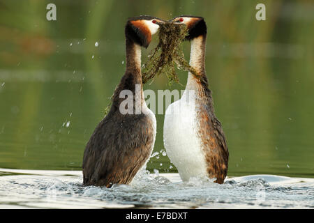 Great Crested Grebes (Podiceps cristatus), male and female performing the courtship dance with nesting material - Stock Photo