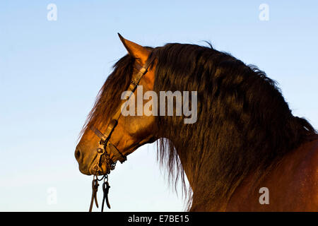 Andalusian Horse, Pure Spanish Horse or PRE horse, Pura Raza Española, bay stallion with a Vaquero bridle, Andalusia, - Stock Photo