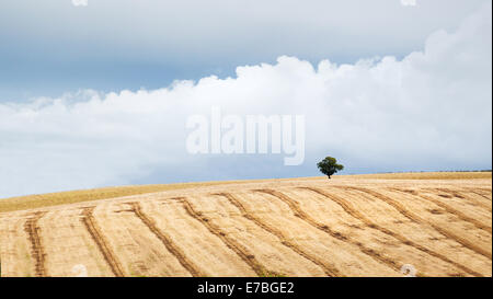 Lines in a corn field with tree - made by farm machinery after harvesting - Somerset UK - Stock Photo