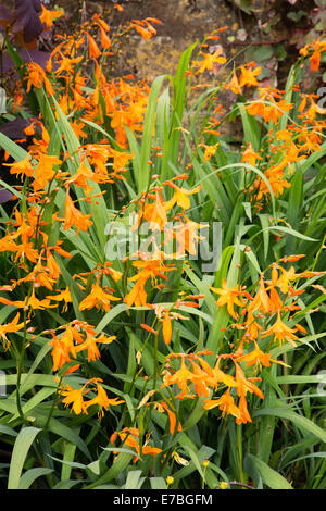 Orange Crocosmia or Montbretia flowers in a Somerset garden with a Ham stone backdrop - Stock Photo