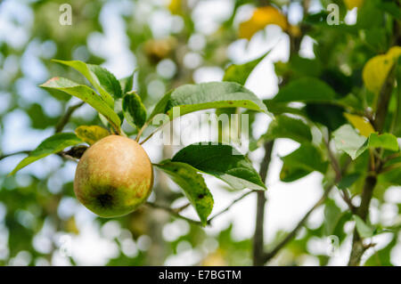Bramley apple growing on a tree in a County Armagh orchard - Stock Photo