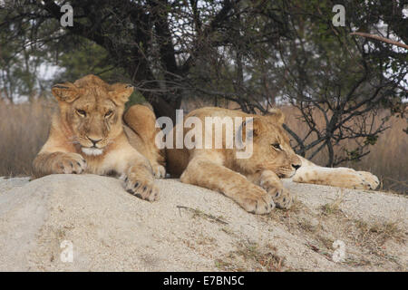 Lion Panthera leo.  A pair of young lion resting on a rock in the mid-day sun planning there next mischief - Stock Photo