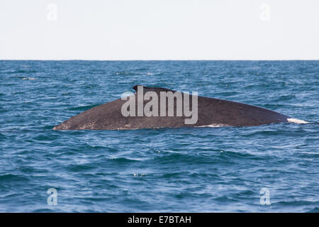 Adult Humpback Whale (Megaptera novaeangliae) surfacing in Byron Bay, New South Whales, Australia - Stock Photo