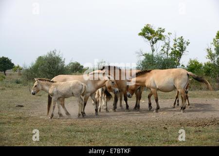 Przewalski's horse (Mongolian wild horse) family from Hortobagy National Park (Hungary). - Stock Photo