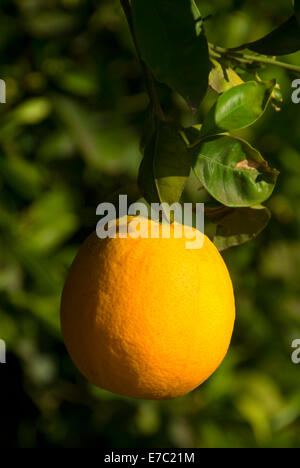 Orange on tree in San Pasqual Valley, San Diego County, California - Stock Photo