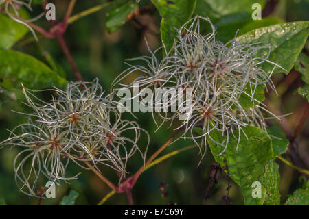 Forming seeds of Traveller's Joy / Old Man's Beard - Clematis vitalba -  in a Cornish hedgerow. Parts used as medicinal - Stock Photo