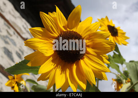 Sunflower in full bloom in field of sunflowers on a sunny day. Photo taken on: September 13th, 2014 - Stock Photo