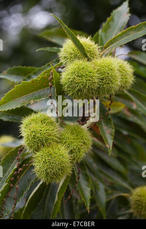 Sweet Chestnut (Castanea sativa). Fruits and foliage. September. Norfolk. Note dead hanging male flowers on catkins. - Stock Photo