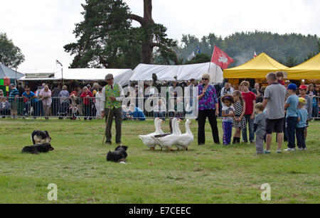 Bedfordshire steam & country fayre, Old Warden Park, Shuttleworth, UK.Sheep dog display, children from the crowd - Stock Photo