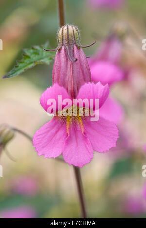 Rehmannia elata. Chinese foxglove flowers. - Stock Photo