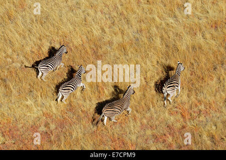 Aerial view of Plains (Burchells) Zebras (Equus burchelli) in grassland, South Africa - Stock Photo