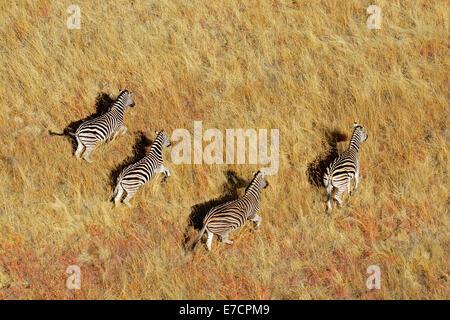 Aerial view of Plains (Burchells) Zebras (Equus burchelli) in grassland, South Africa - Stock Photo